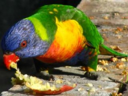 parrot-eating-an-apple_19-105054